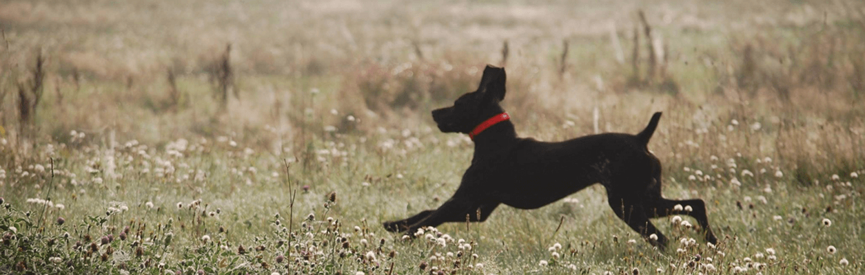 Photo of hunting dog running.