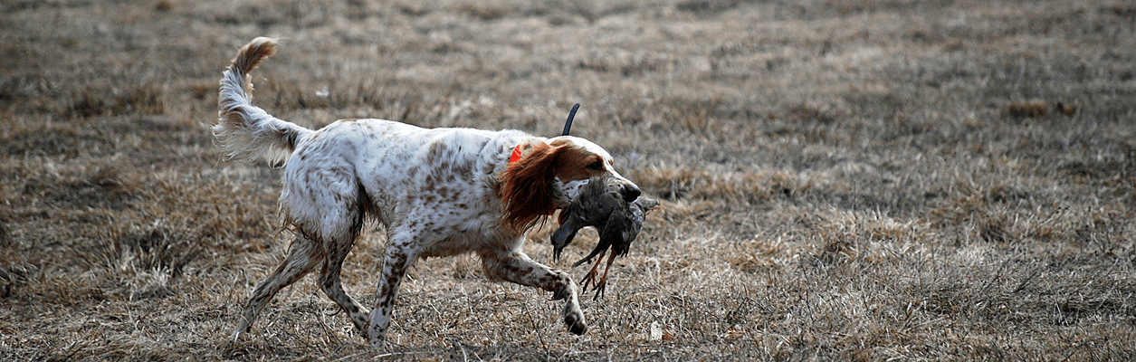 Photo of hunting dog with bird.
