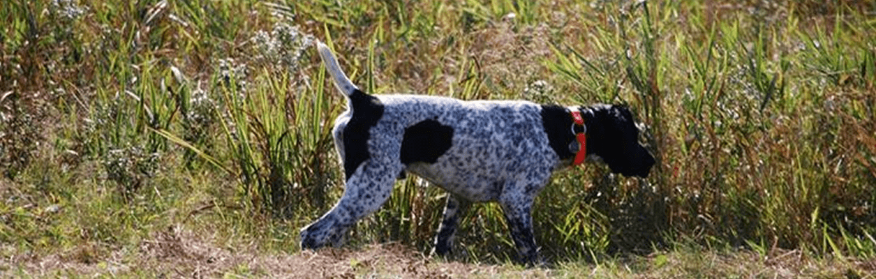 Photo of hunting dog.